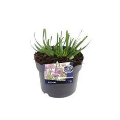Afbeelding van Allium millenium