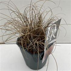 Afbeelding van Carex Bronze Form