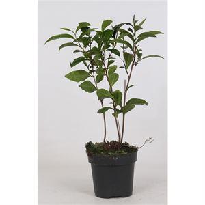 Afbeelding van Camellia Sinensis (theeplant)