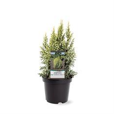 Afbeelding van Juniperus pingii Hulsdonk Yellow (pbr)