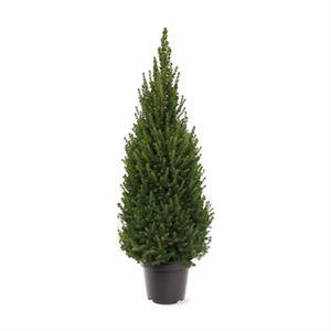 Afbeelding van Picea glauca Perfecta (pbr)