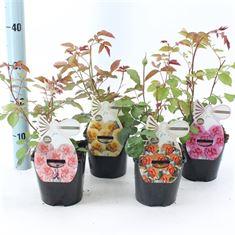 Afbeelding van Spelarosa Fisser mix parfum rozen