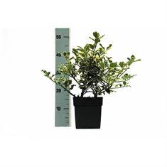 Afbeelding van Ilex aquifolium Argentea Marginata