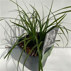 Afbeelding van Carex Evergreen
