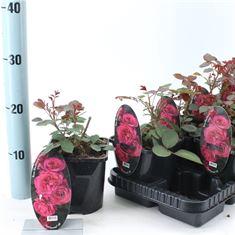 Afbeelding van Rosa patio Blackbarry Nipp (Spelarosa geurende rozen)