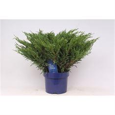 Afbeelding van Juniperus horizontalis Andorra Compact