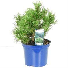 Afbeelding van Pinus mugo Gnom