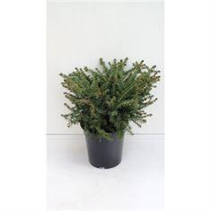 Afbeelding van Picea abies Nidiformis