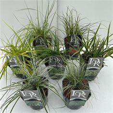 Afbeelding van Carex mix
