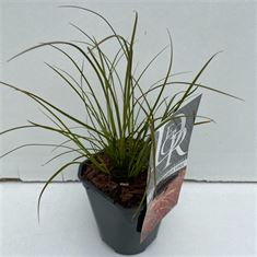 Afbeelding van Carex Prairy Fire