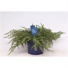 Afbeelding van Juniperus communis Repanda