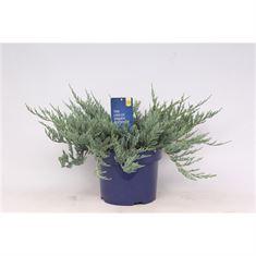 Afbeelding van Juniperus horizontalis Blue Chip