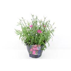 Afbeelding van Dianthus sunnade pink