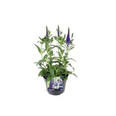 Afbeelding van Veronica spicata inspire blue