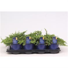 Afbeelding van Juniperus communis Green Carpet