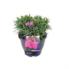 Afbeelding van Dianthus caryophyllus peman
