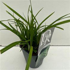 Afbeelding van Carex Irisch Green