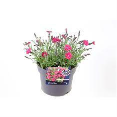 Afbeelding van Dianthus dianturi twinkle