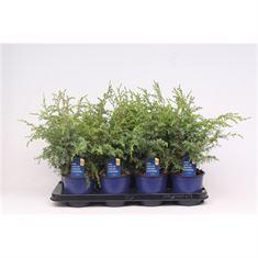 Afbeelding van Juniperus communis Hibernica