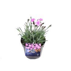 Afbeelding van Dianthus dinetta