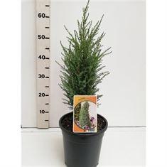 Afbeelding van Juniperus communis Compressa