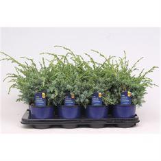 Afbeelding van Juniperus chinensis Blue Alps