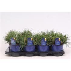 Afbeelding van Pinus mugo pumilio