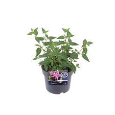 Afbeelding van Fuchsia beacon