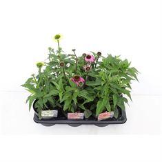 Afbeelding van Echinacea purpurea mix
