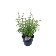 Afbeelding van Salvia microphylla hotlips