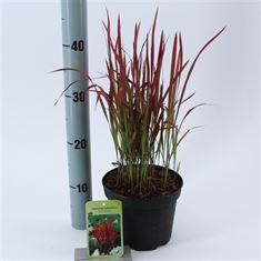 Afbeelding van Imperata cylindrica Red Baron