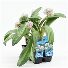Afbeelding van Allium karataviese