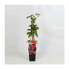 Afbeelding van Parthenocissus Quinquefolia
