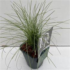 Afbeelding van Carex Frosted Curls