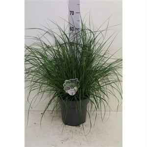 Afbeelding van Pennisetum alop. Hameln