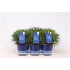 Afbeelding van Pinus mugo mughus