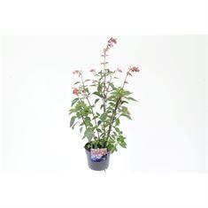 Afbeelding van Salvia hybr. love and wishes