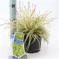 Afbeelding van Carex oshimensis Evergold