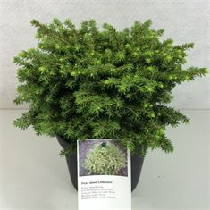 Afbeelding van Picea abies Little Gem