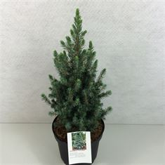 Afbeelding van Picea glauca Conica Blue