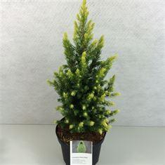 Afbeelding van Picea glauca Daisys White