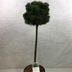 Afbeelding van Pinus mugo Mops Midget