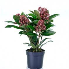 Afbeelding van Skimmia japonica Rubella