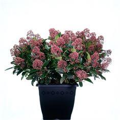 Afbeelding van  Skimmia japonica Rubella 4kante pot