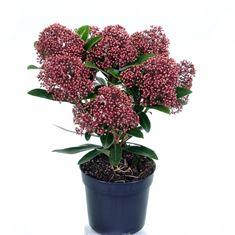 Afbeelding van Skimmia japonica Rubesta