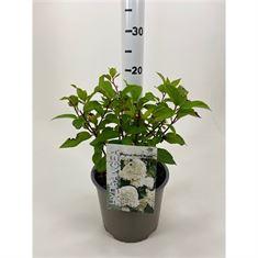 Afbeelding van Hydrangea paniculata  Magical Mont Blanc ® (Kolmamon)