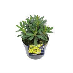 Afbeelding van Euphorbia amyg. purpurea