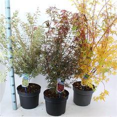Afbeelding van Acer palmatum Cultivar's