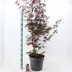 Afbeelding van Acer palmatum Atropurpureum
